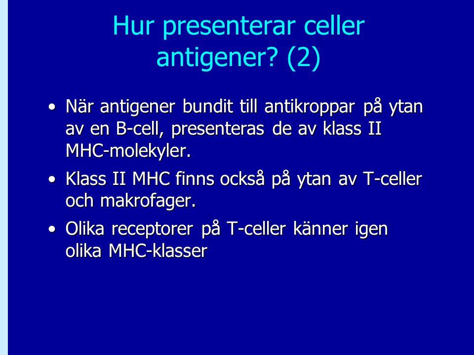 Hur presenterar celler antigener? (2) När antigener bundit till antikroppar på ytan av en B-cell, presenteras de av klass II MHC-molekyler.När antigen