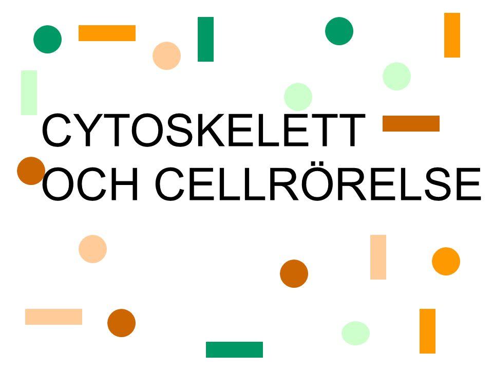 cellens skelett: håller cellens form cellens muskler: cellrörelser maskineri för intracellulär rörelse: Cytoskelettet – ramverk av proteintrådar