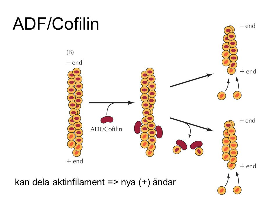ADF/Cofilin kan dela aktinfilament => nya (+) ändar