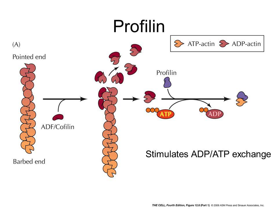 Profilin Stimulates ADP/ATP exchange