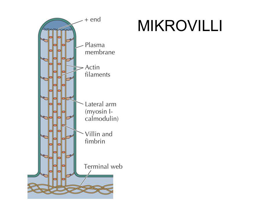 MIKROVILLI