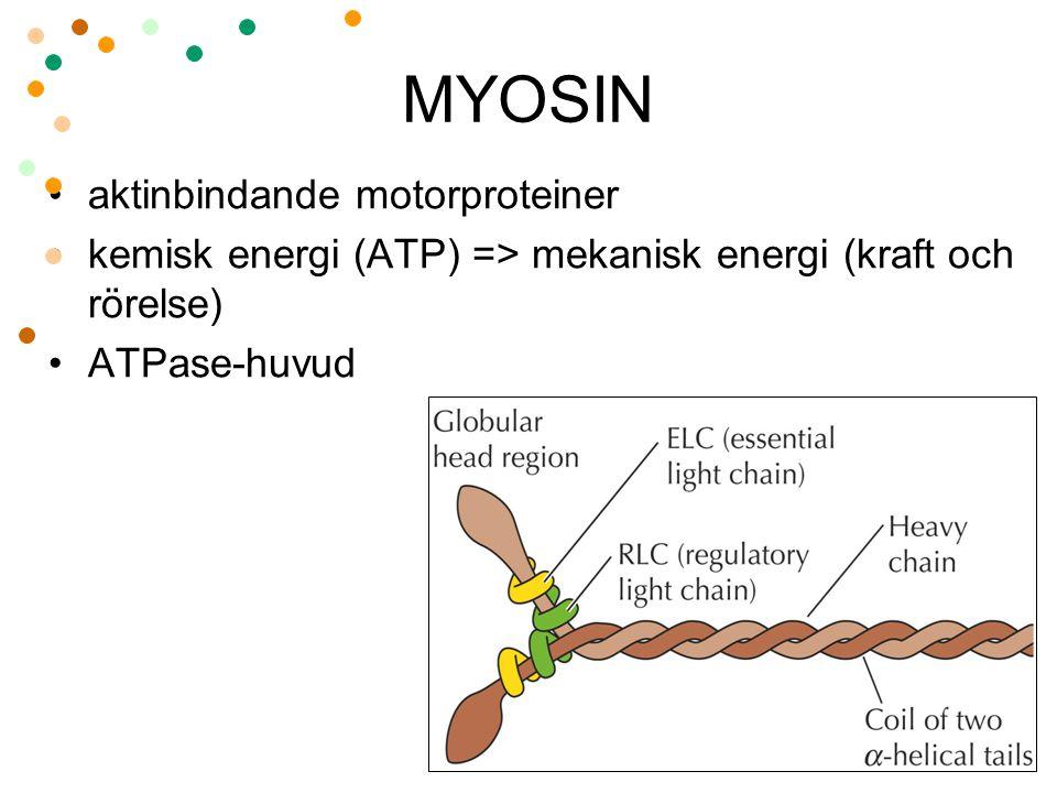 MYOSIN aktinbindande motorproteiner kemisk energi (ATP) => mekanisk energi (kraft och rörelse) ATPase-huvud