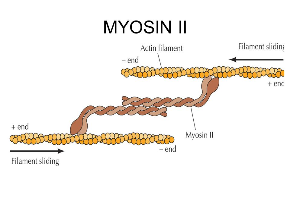 MYOSIN II
