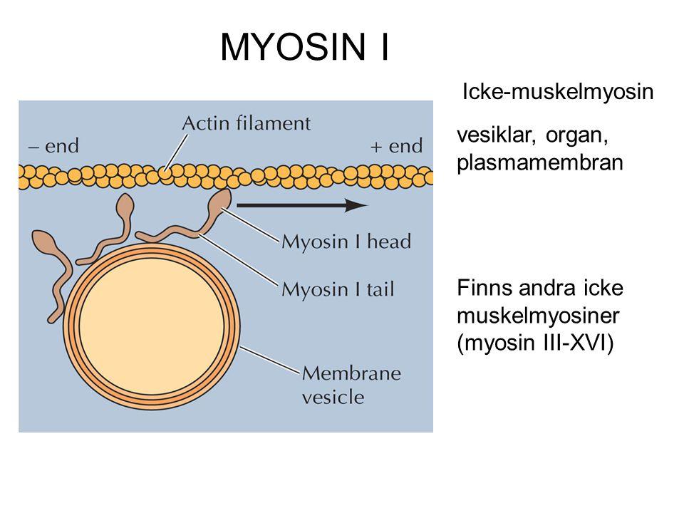 MYOSIN I vesiklar, organ, plasmamembran Icke-muskelmyosin Finns andra icke muskelmyosiner (myosin III-XVI)