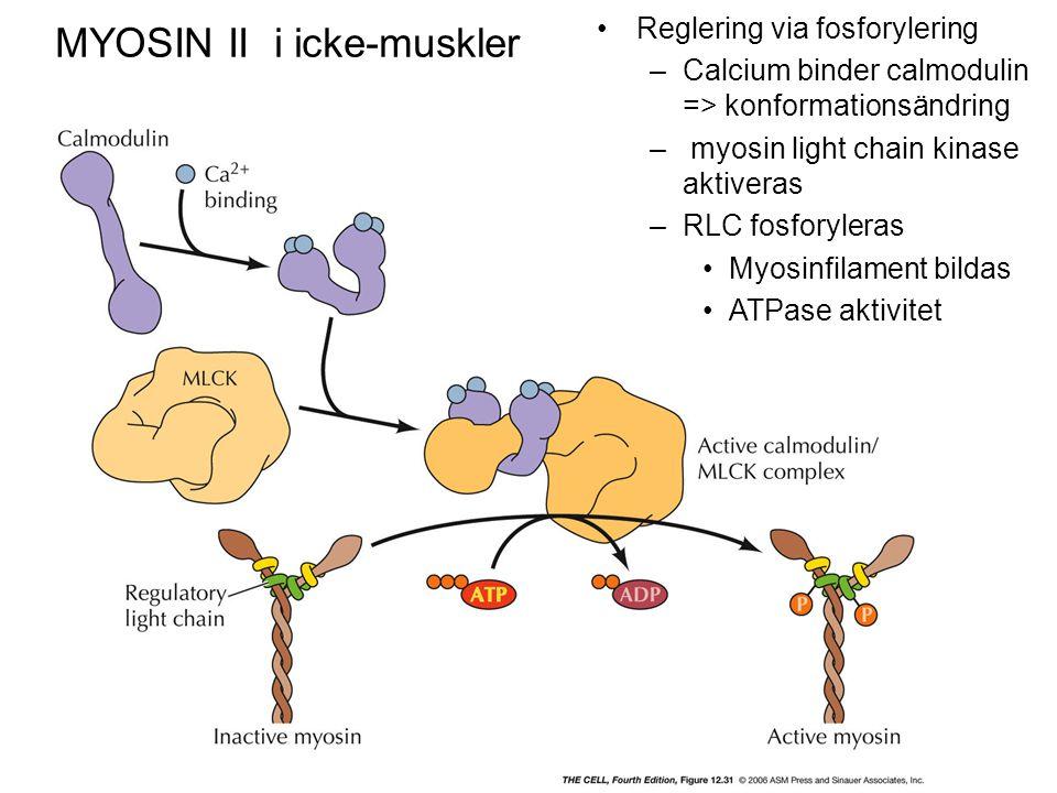 MYOSIN II i icke-muskler Reglering via fosforylering –Calcium binder calmodulin => konformationsändring – myosin light chain kinase aktiveras –RLC fos