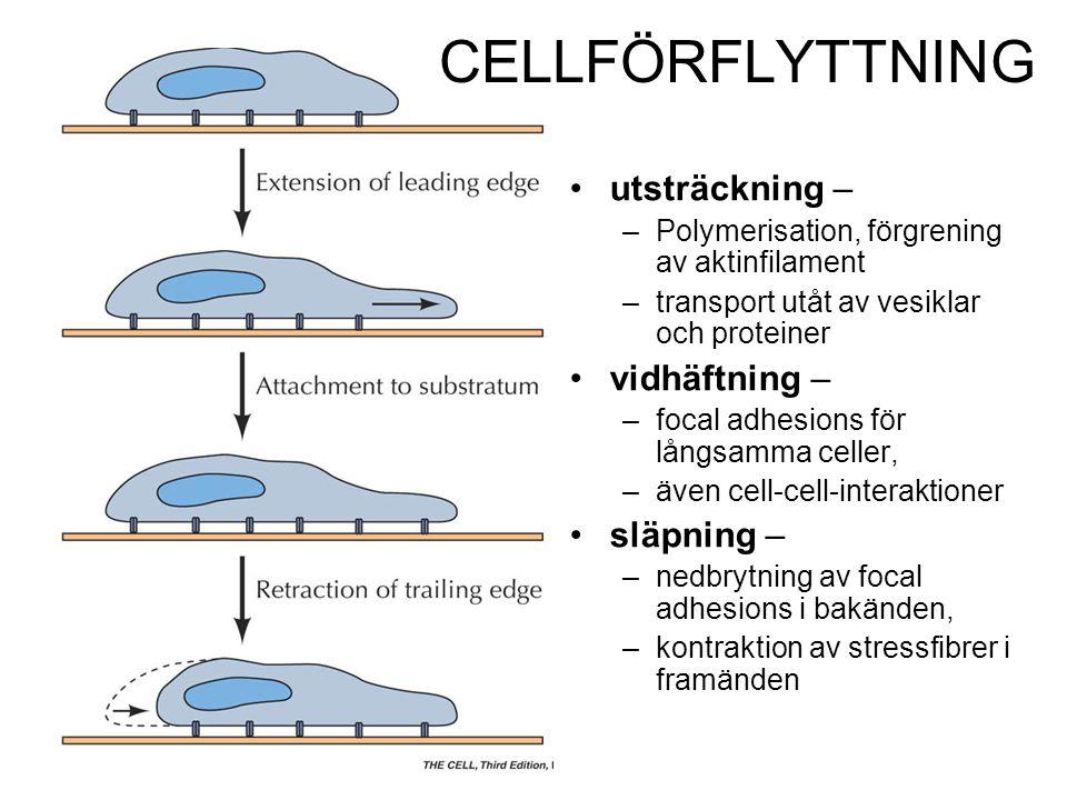 CELLFÖRFLYTTNING utsträckning – –Polymerisation, förgrening av aktinfilament –transport utåt av vesiklar och proteiner vidhäftning – –focal adhesions