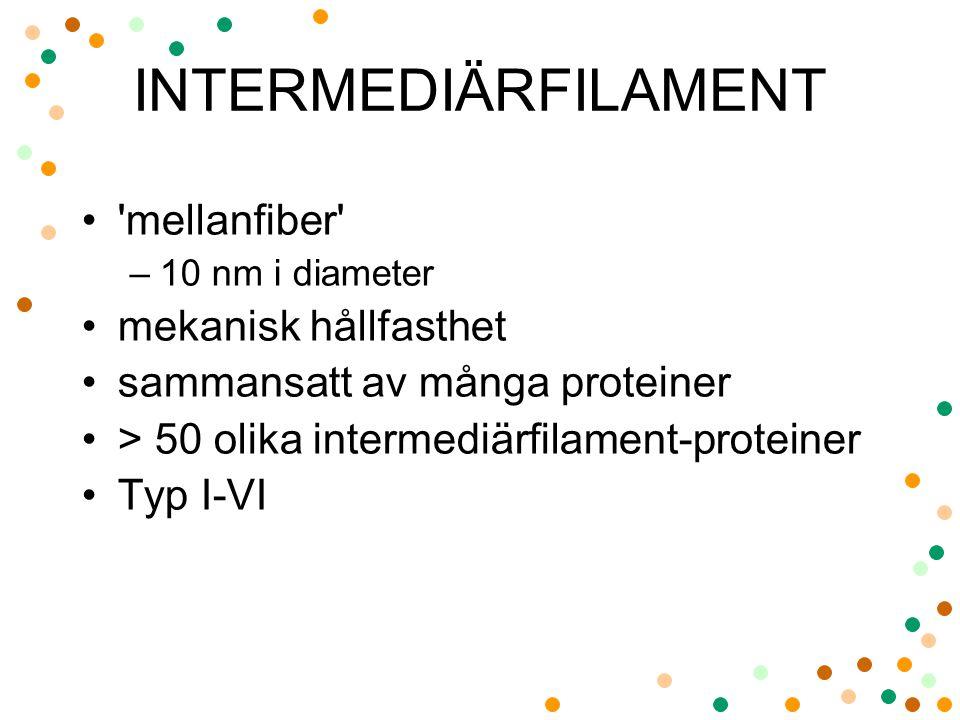 INTERMEDIÄRFILAMENT 'mellanfiber' –10 nm i diameter mekanisk hållfasthet sammansatt av många proteiner > 50 olika intermediärfilament-proteiner Typ I-
