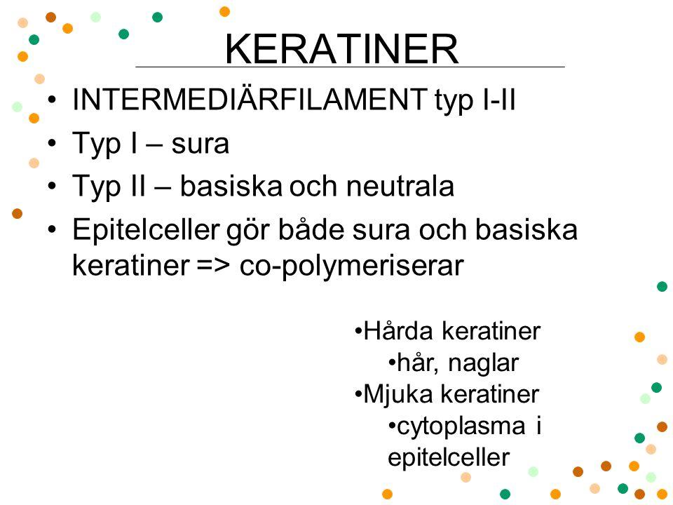 KERATINER INTERMEDIÄRFILAMENT typ I-II Typ I – sura Typ II – basiska och neutrala Epitelceller gör både sura och basiska keratiner => co-polymeriserar