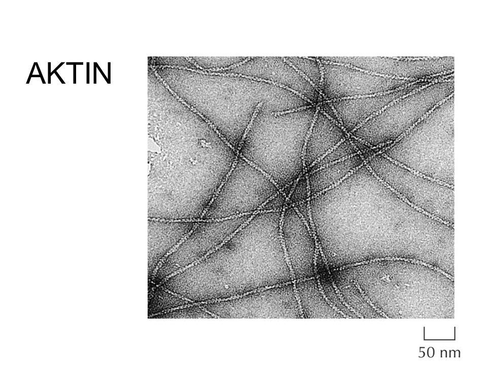 Aktin monomerer bildar aktinfilament = mikrofilament G-aktin (globular actin) monomer F-aktin (filamentous actin)