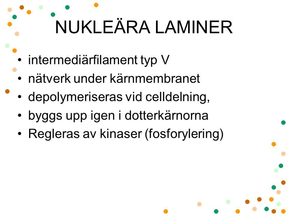 NUKLEÄRA LAMINER intermediärfilament typ V nätverk under kärnmembranet depolymeriseras vid celldelning, byggs upp igen i dotterkärnorna Regleras av ki