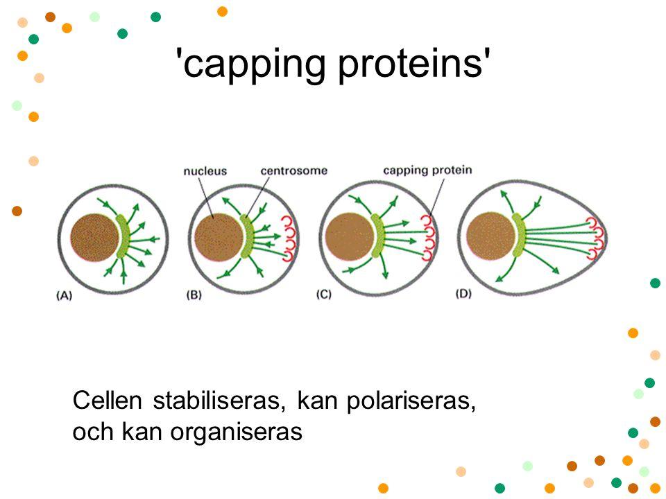 'capping proteins' Cellen stabiliseras, kan polariseras, och kan organiseras