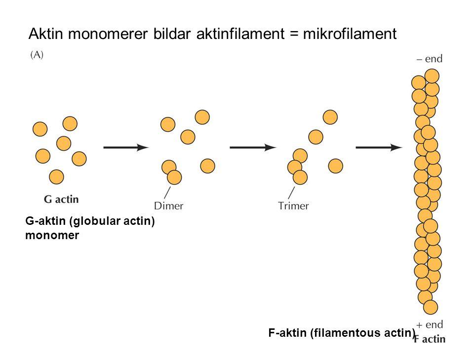 Reversibel polymerisation av aktinmonomerer Polymerisation: beroende av monomer-koncentration monomer binder ATP (ATP/ADP ) ATP-aktin binder bättre ADP-aktin håller ihop sämre cytochalasiner hindrar addering vid +ändan Depolymerisation oberoende av monomerkonc phalloidin hindrar dissociation