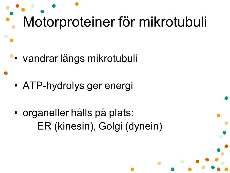 Motorproteiner för mikrotubuli vandrar längs mikrotubuli ATP-hydrolys ger energi organeller hålls på plats: ER (kinesin), Golgi (dynein)