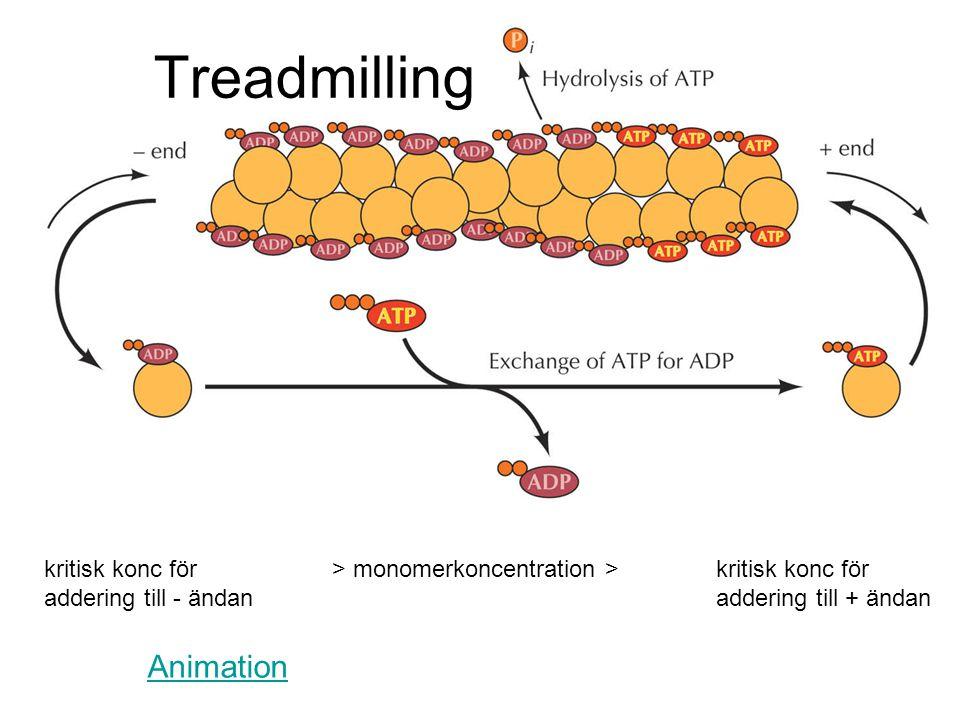 Treadmilling kritisk konc för > monomerkoncentration > kritisk konc för addering till - ändan addering till + ändan Animation