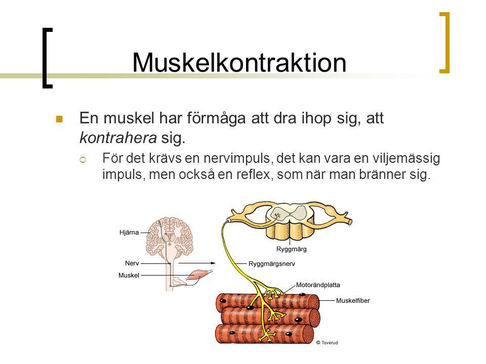 Muskelkontraktion En muskel har förmåga att dra ihop sig, att kontrahera sig.  För det krävs en nervimpuls, det kan vara en viljemässig impuls, men o