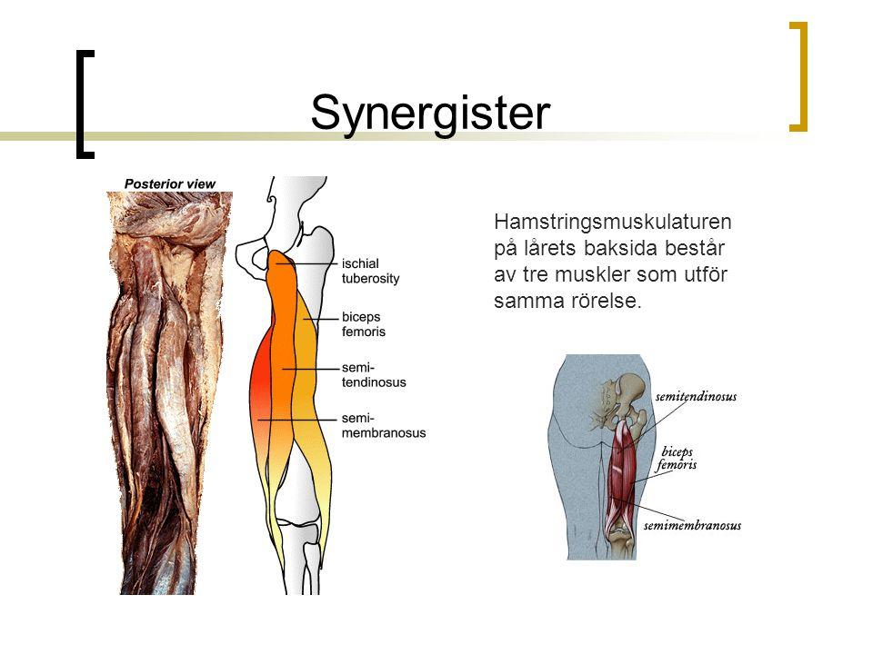 Synergister Hamstringsmuskulaturen på lårets baksida består av tre muskler som utför samma rörelse.
