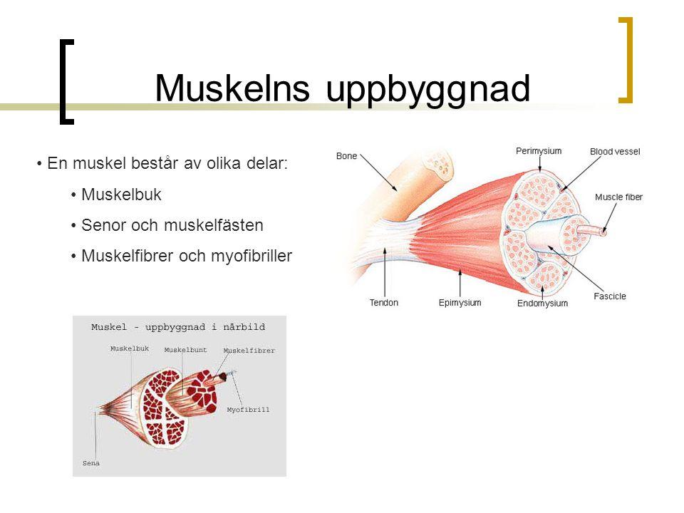 Muskelns uppbyggnad En muskel består av olika delar: Muskelbuk Senor och muskelfästen Muskelfibrer och myofibriller