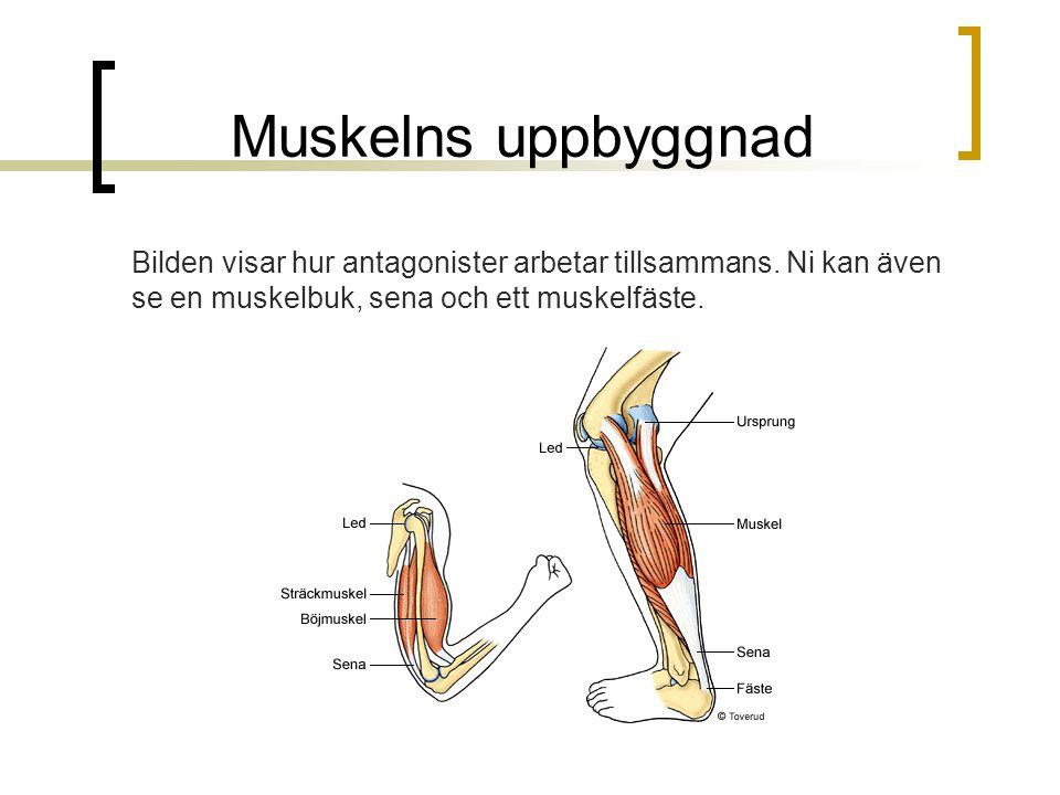Muskelns uppbyggnad Bilden visar hur antagonister arbetar tillsammans. Ni kan även se en muskelbuk, sena och ett muskelfäste.