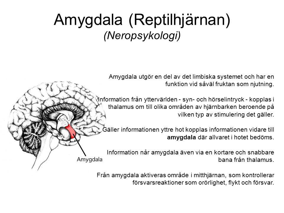 Amygdala (Reptilhjärnan) (Neropsykologi) Amygdala utgör en del av det limbiska systemet och har en funktion vid såväl fruktan som njutning. Informatio