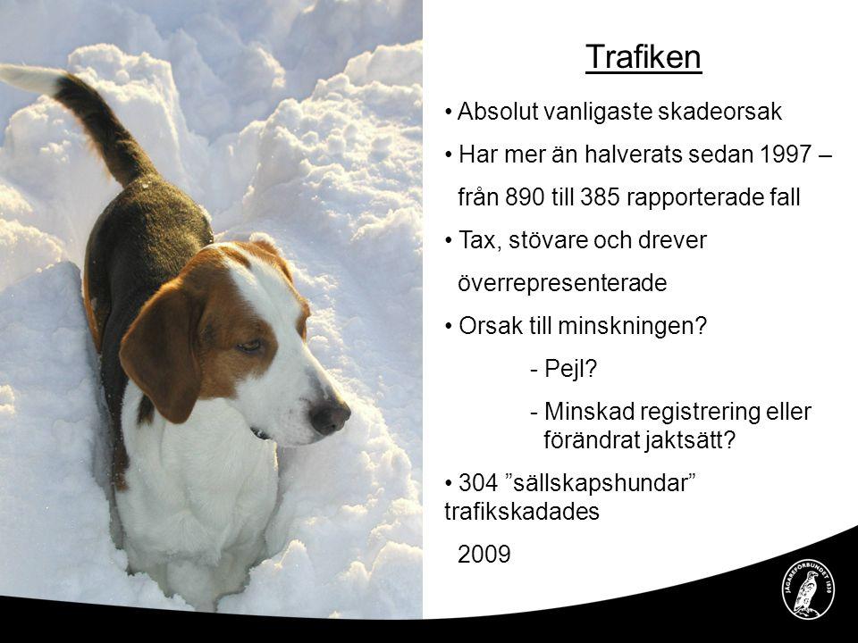 Drunkning Kraftig minskning av antalet drunknade hundar – från 75 till 39 Taxar, drever och stövare överrepresenterade Pejlens förtjänst.