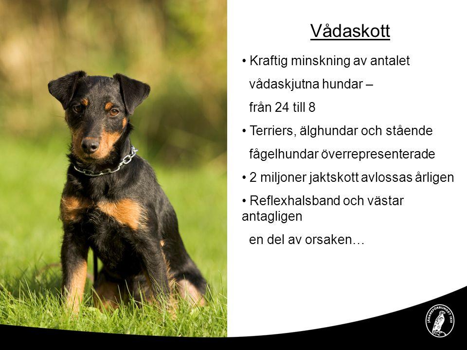 Vådaskott Kraftig minskning av antalet vådaskjutna hundar – från 24 till 8 Terriers, älghundar och stående fågelhundar överrepresenterade 2 miljoner j