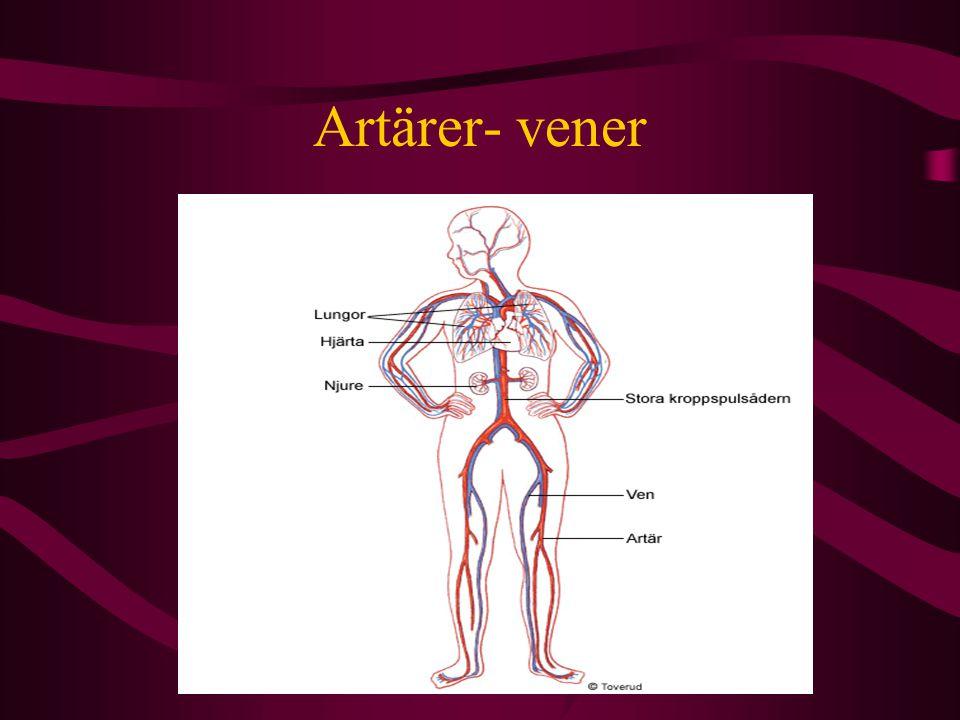 Artärer- vener