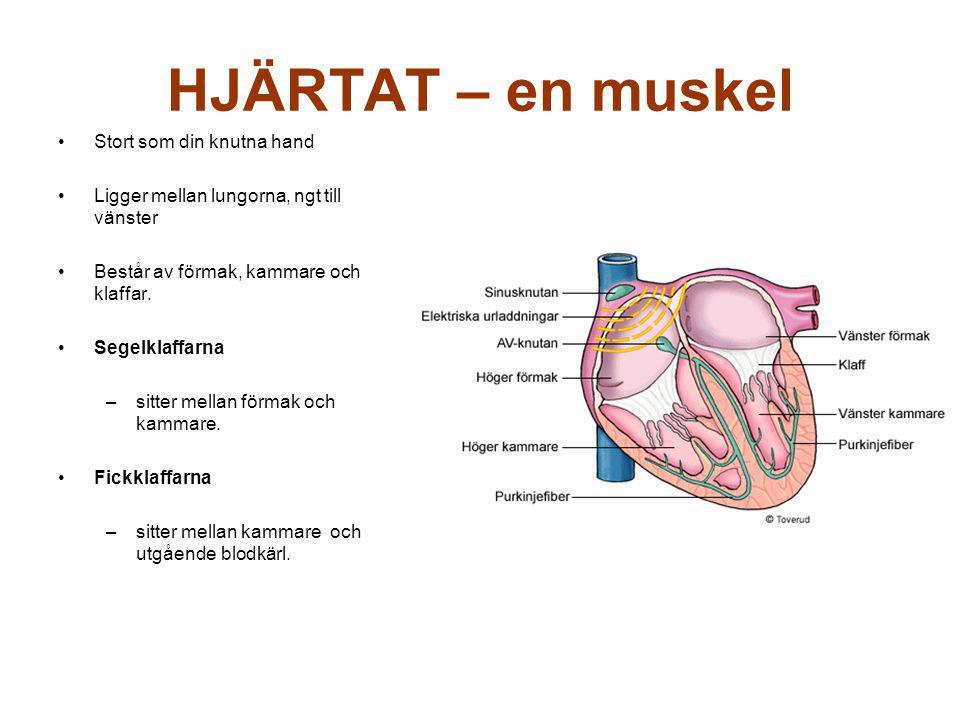 HJÄRTAT – en muskel Stort som din knutna hand Ligger mellan lungorna, ngt till vänster Består av förmak, kammare och klaffar.