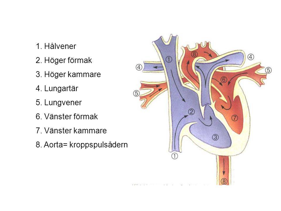 1. Hålvener 2. Höger förmak 3. Höger kammare 4. Lungartär 5. Lungvener 6. Vänster förmak 7. Vänster kammare 8. Aorta= kroppspulsådern