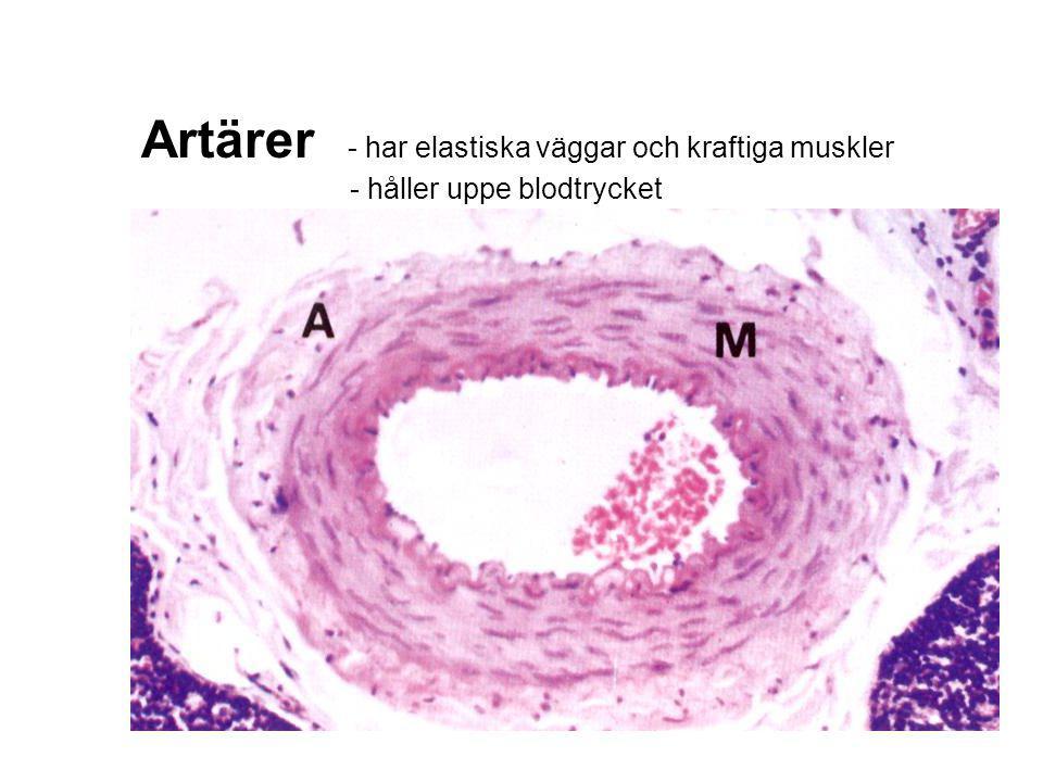 Vener - har tunnare väggar - leder blodet tillbaka till hjärtat med hjälp av klaffar