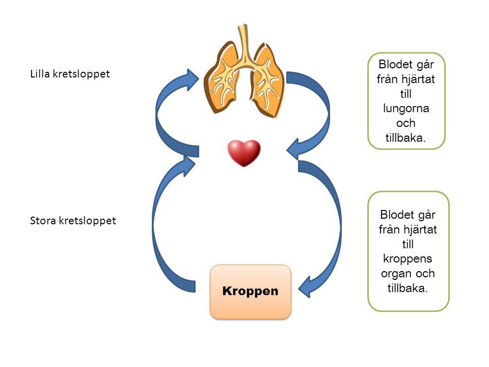 Kroppen Lilla kretsloppet Stora kretsloppet Blodet går från hjärtat till lungorna och tillbaka. Blodet går från hjärtat till kroppens organ och tillba