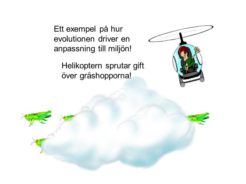 Helikoptern sprutar gift över gräshopporna! Ett exempel på hur evolutionen driver en anpassning till miljön!