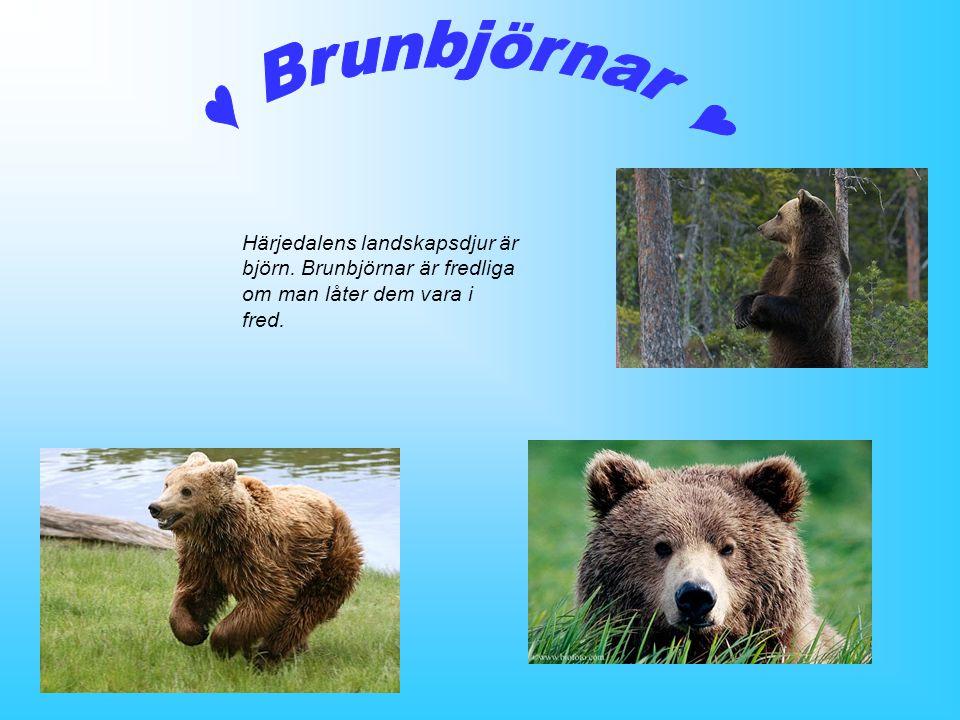 Härjedalens landskapsdjur är björn. Brunbjörnar är fredliga om man låter dem vara i fred.