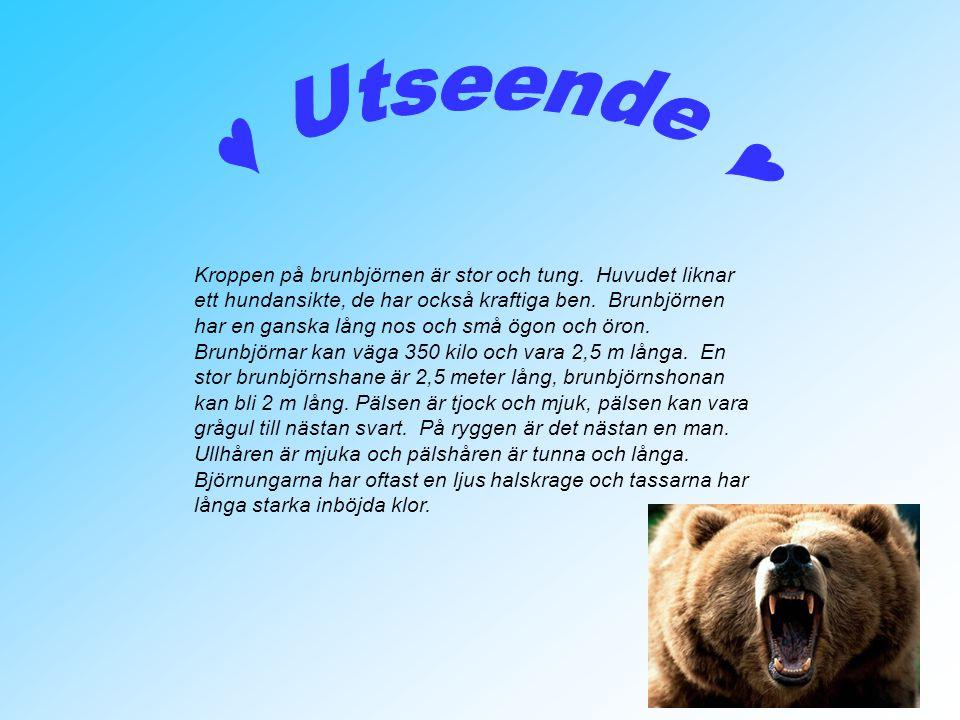 Kroppen på brunbjörnen är stor och tung. Huvudet liknar ett hundansikte, de har också kraftiga ben. Brunbjörnen har en ganska lång nos och små ögon oc