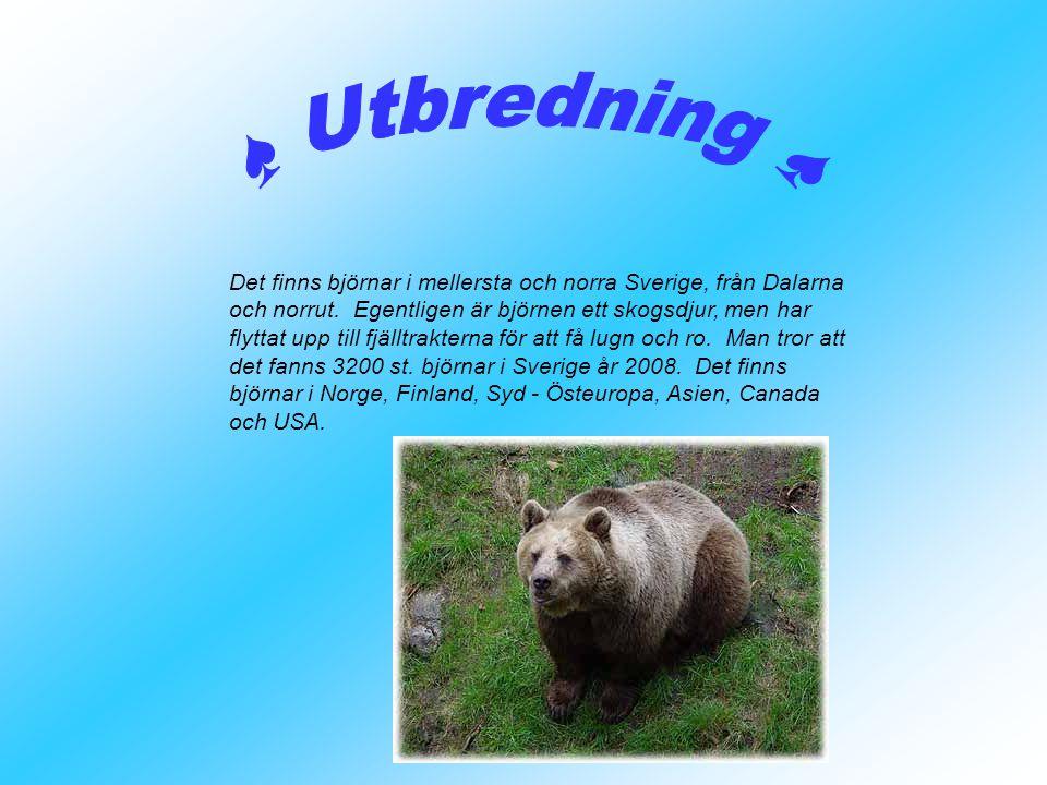 Det finns björnar i mellersta och norra Sverige, från Dalarna och norrut. Egentligen är björnen ett skogsdjur, men har flyttat upp till fjälltrakterna