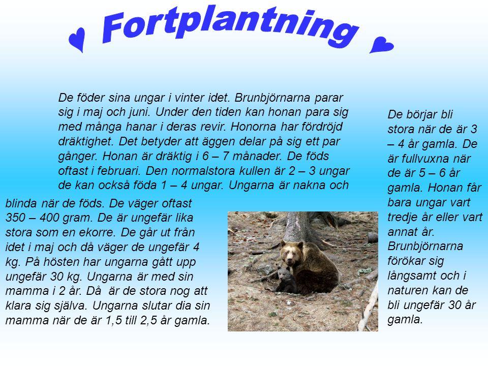 De föder sina ungar i vinter idet. Brunbjörnarna parar sig i maj och juni. Under den tiden kan honan para sig med många hanar i deras revir. Honorna h