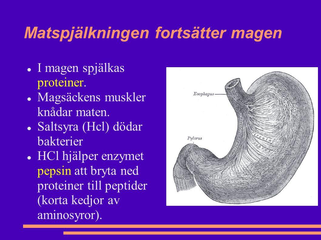 Matspjälkningen fortsätter magen I magen spjälkas proteiner.