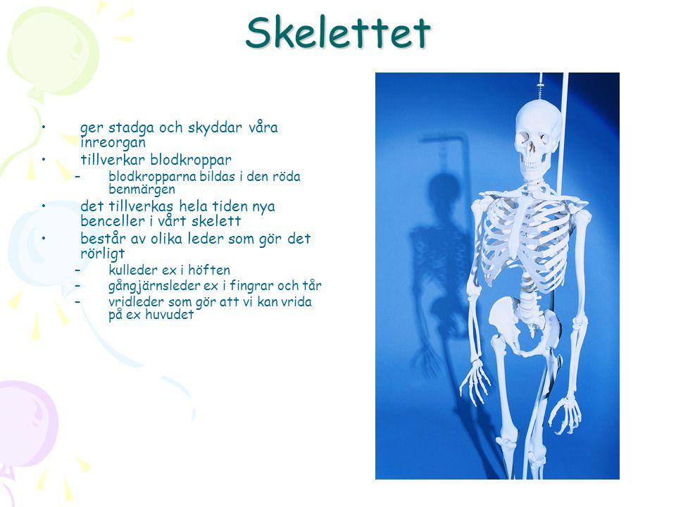 Skelettet ger stadga och skyddar våra inreorgan tillverkar blodkroppar –blodkropparna bildas i den röda benmärgen det tillverkas hela tiden nya benceller i vårt skelett består av olika leder som gör det rörligt –kulleder ex i höften –gångjärnsleder ex i fingrar och tår –vridleder som gör att vi kan vrida på ex huvudet