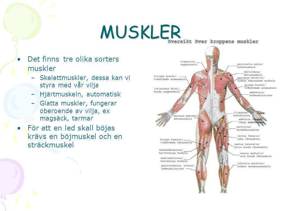 MUSKLER Det finns tre olika sorters muskler –Skelettmuskler, dessa kan vi styra med vår vilja –Hjärtmuskeln, automatisk –Glatta muskler, fungerar oberoende av vilja, ex magsäck, tarmar För att en led skall böjas krävs en böjmuskel och en sträckmuskel