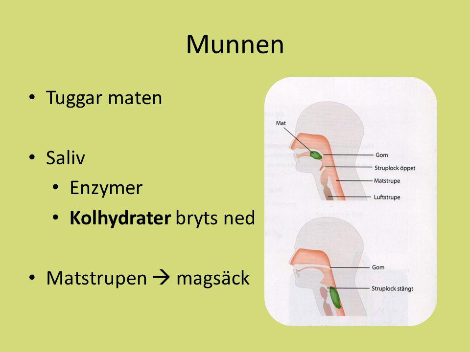Munnen Tuggar maten Saliv Enzymer Kolhydrater bryts ned Matstrupen  magsäck