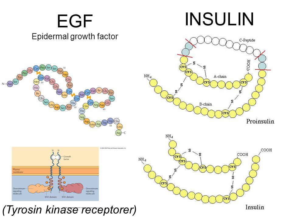 INSULIN EGF Epidermal growth factor (Tyrosin kinase receptorer)