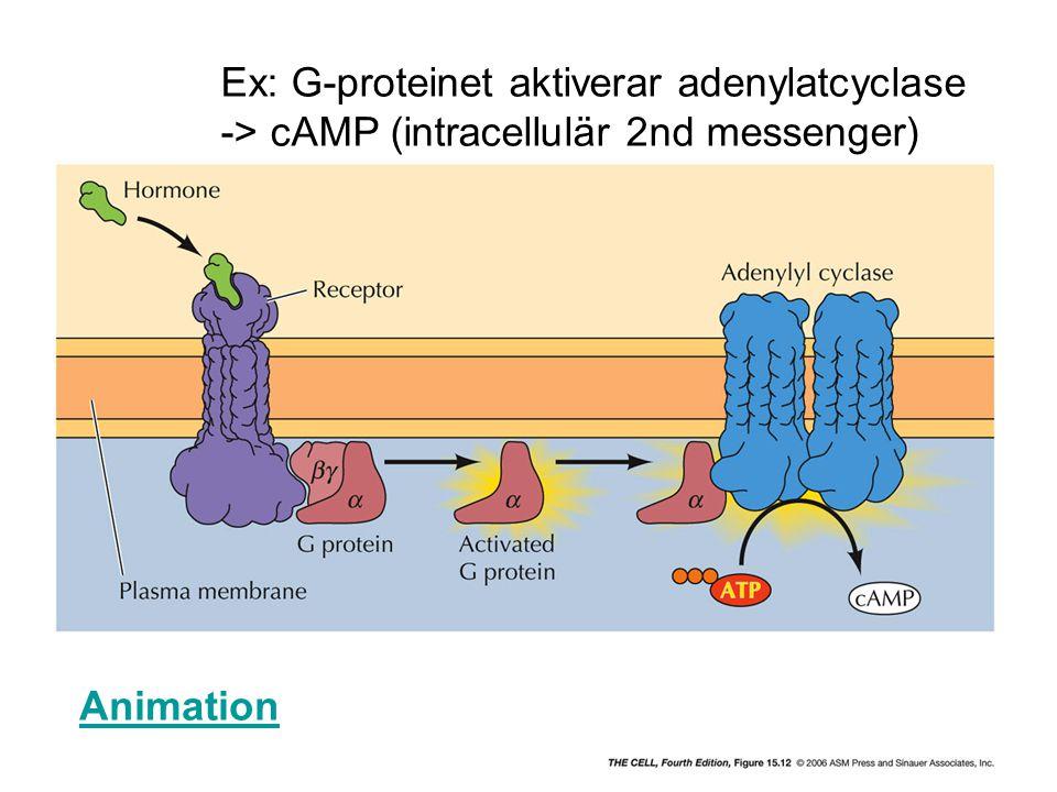 Ex: G-proteinet aktiverar adenylatcyclase -> cAMP (intracellulär 2nd messenger) Animation