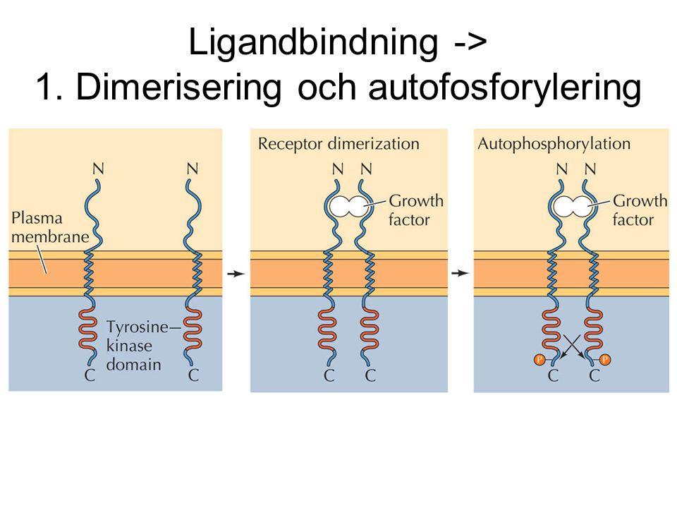 Ligandbindning -> 1. Dimerisering och autofosforylering