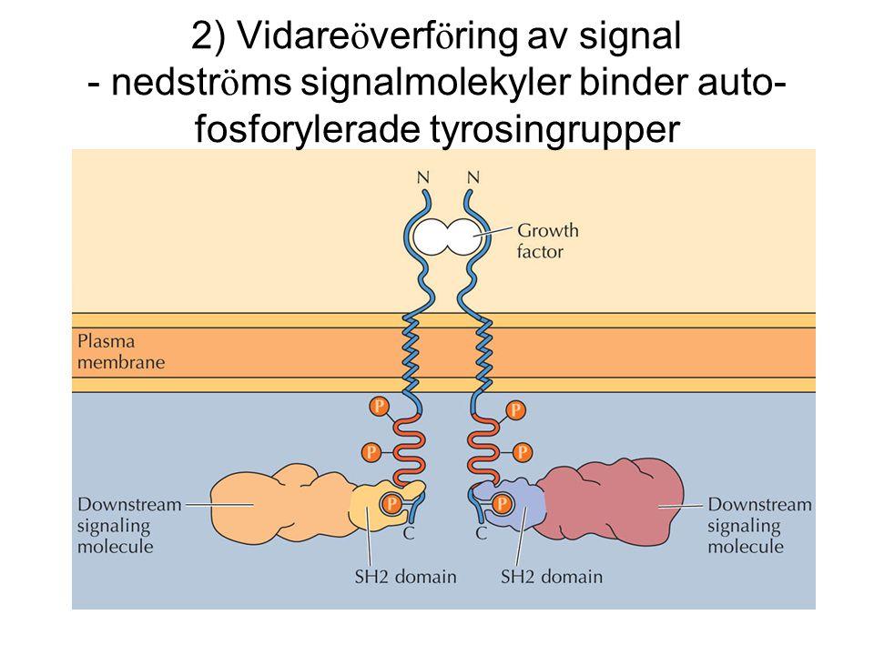 2) Vidare ö verf ö ring av signal - nedstr ö ms signalmolekyler binder auto- fosforylerade tyrosingrupper