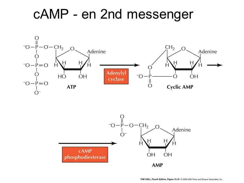cAMP - en 2nd messenger