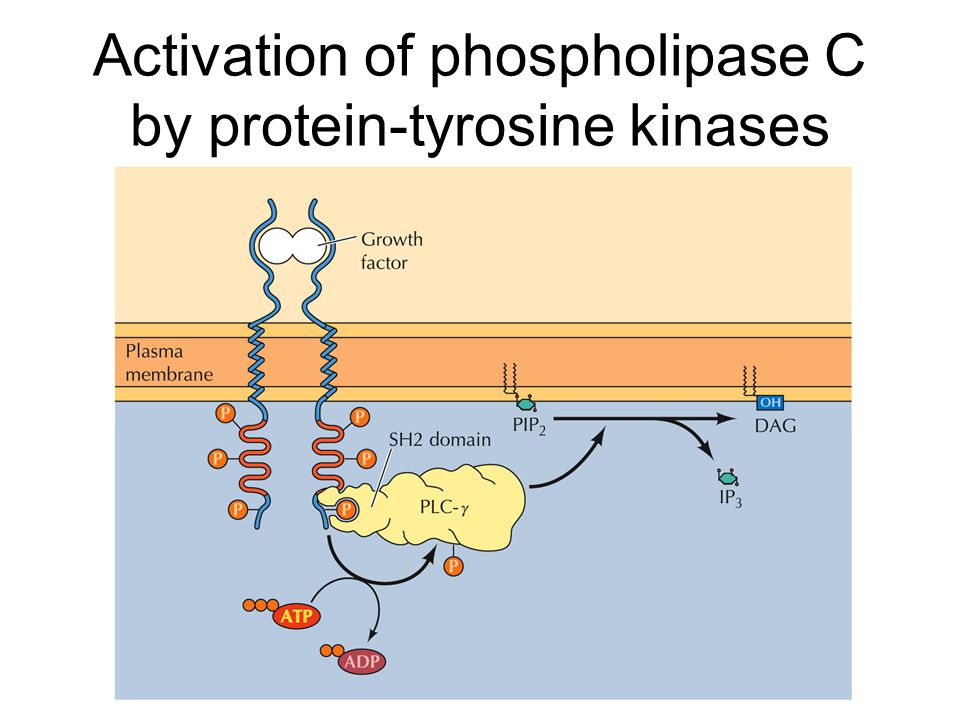Activation of phospholipase C by protein-tyrosine kinases