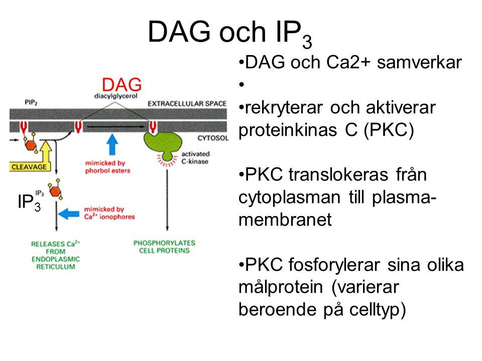 DAG och IP 3 DAG IP 3 DAG och Ca2+ samverkar rekryterar och aktiverar proteinkinas C (PKC) PKC translokeras från cytoplasman till plasma- membranet PK