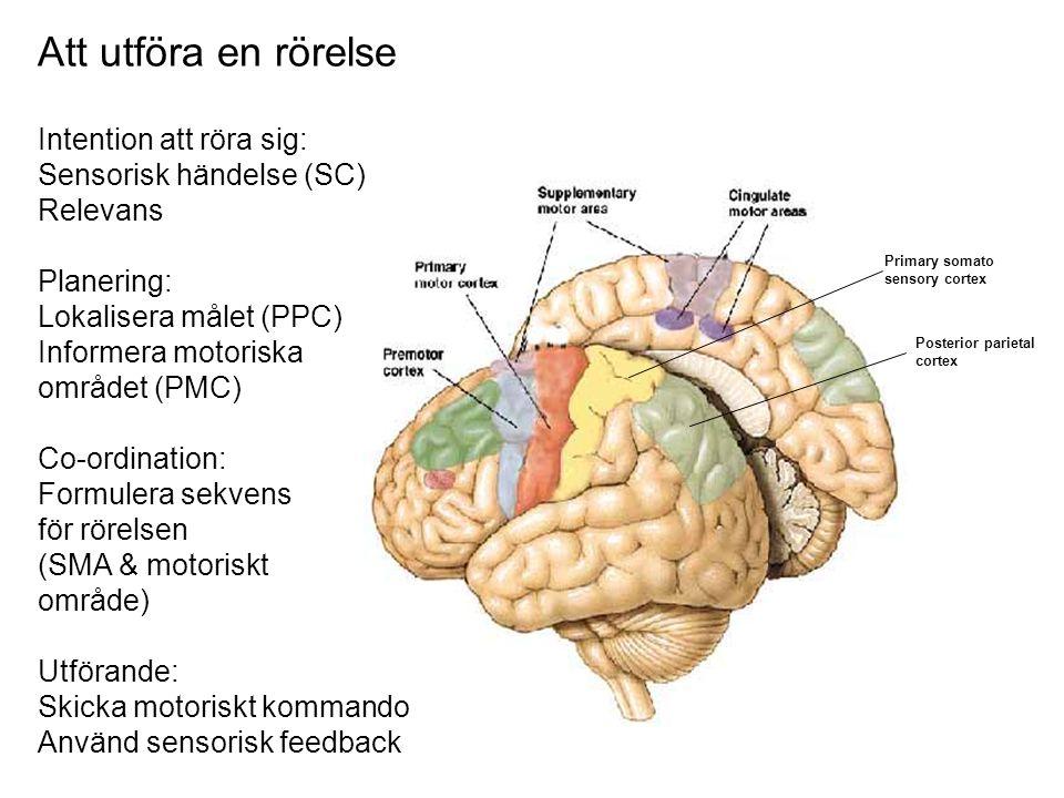 Att utföra en rörelse Primary somato sensory cortex Posterior parietal cortex Intention att röra sig: Sensorisk händelse (SC) Relevans Planering: Loka