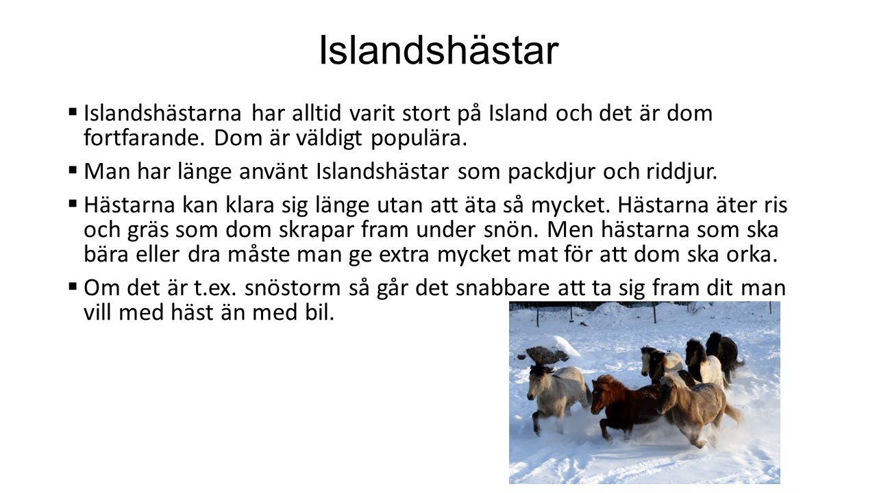 Islandshästar  Islandshästarna har alltid varit stort på Island och det är dom fortfarande.