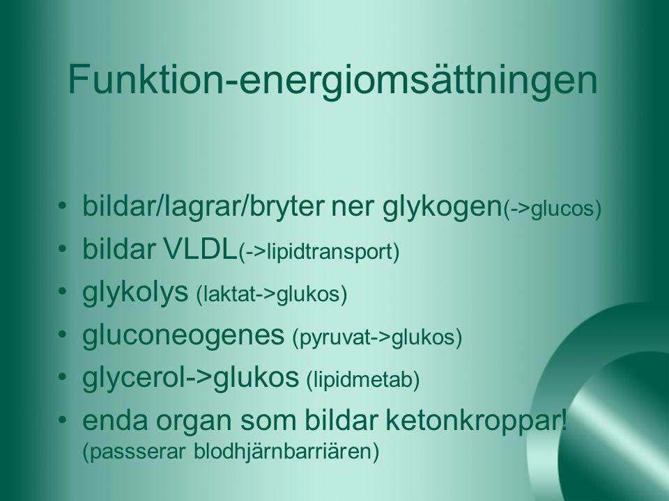 Funktion-energiomsättningen bildar/lagrar/bryter ner glykogen (->glucos) bildar VLDL (->lipidtransport) glykolys (laktat->glukos) gluconeogenes (pyruv