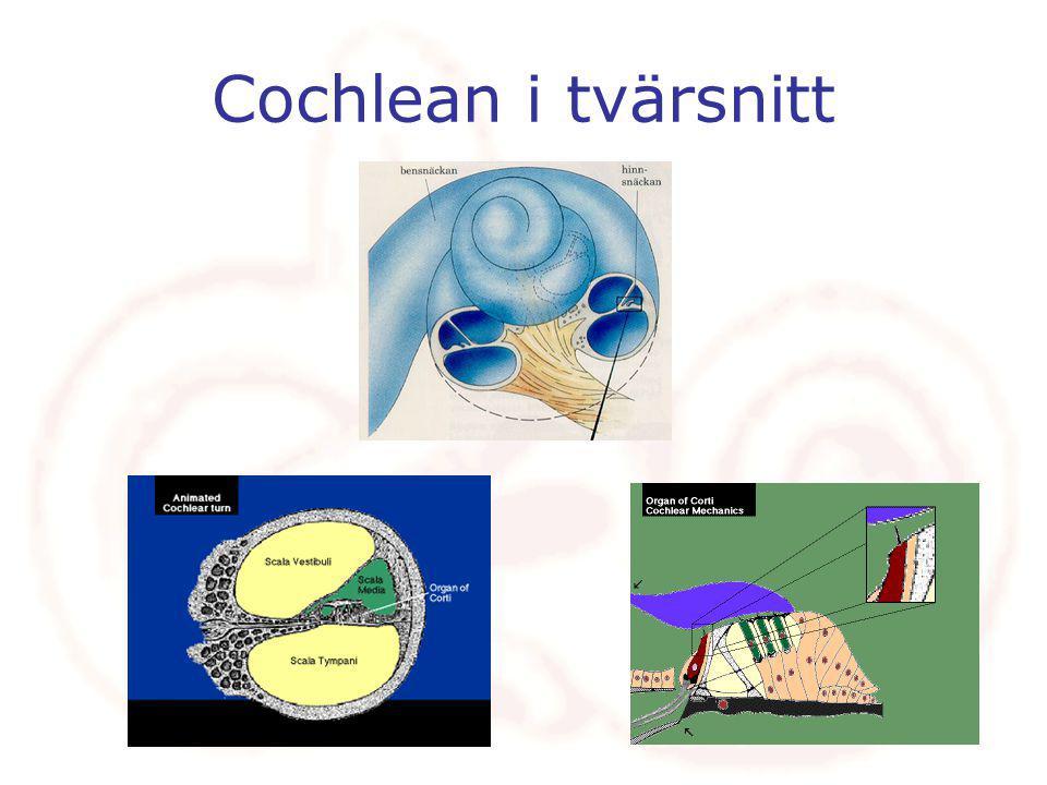 Cochlean i tvärsnitt